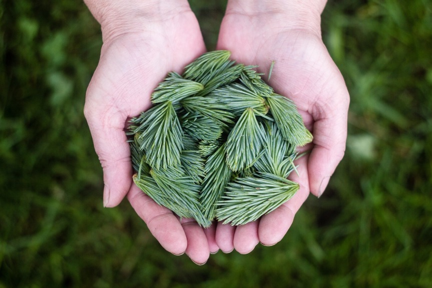 pine-leaves.jpg