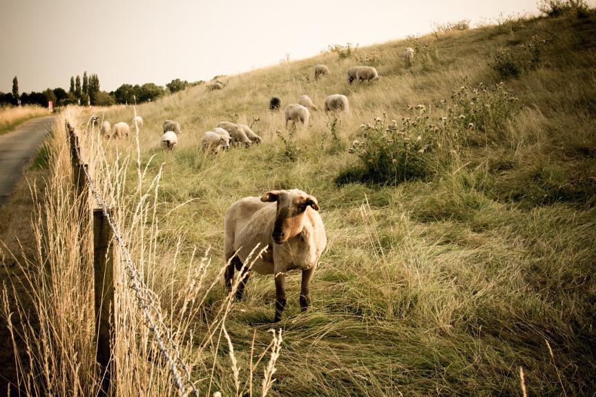 sheep-.jpg